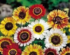 Painted Daisy Mum- Tricolor- 100 Seeds - 50 % off sale