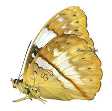 Unmounted Butterfly/Nymphalidae - Cymothoe reinholdi vitalis, FEMALE, CAR, A1/A-