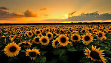 Large Framed Print - Sea of Sunflowers in a Field (Picture Poster Flower Art)