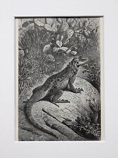 Agama Lizards - Antique Victorian B/W Print, Wood Engraving, Mounted
