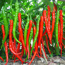 50pcs Rare Giant Spices Spicy Chili Pepper Seeds Home Vegetable Lot Chilli Plant
