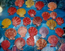 TWENTY FIVE  (25) NOBILIS PECTEN  SINGLE SEA SHELLS  BEACH NAUTICAL DECOR CRAFT
