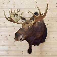 Moose Taxidermy Shoulder Mount - SW3934