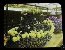MAGIC LANTERN SLIDE THE CHRYSANTHEMUMS IN JAPAN NO.5 C1920 JAPANESE TAKAGI