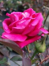 Pink Don Juan Fragrant Climber Rose Shrub 2 Gal. Live Plant Roses Zone 6-9 NOW!