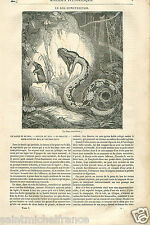 Red-tailed Boa Constrictor/constricteur Snake Serpent Reptile GRAVURE PRINT 1833