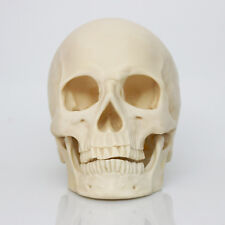 White New Human Skull Replica Resin Model Medical Lifesize Realistic 1:1