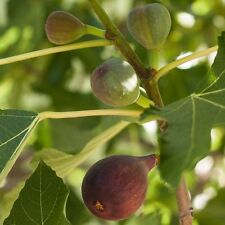 Fig - 'Black Mission' - Fruiting Fig Tree