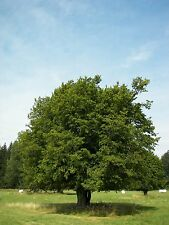"""Hainbuche Carpinus betulus 50 Samen """"ALLES NUR 1 EURO"""""""