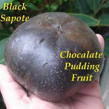 ~BLACK SAPOTE~ FRUIT TREE Diospyros digyna Chocolate Pudding Small Starter