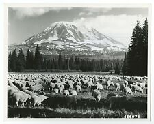 Washington State History - Sheep Grazing - Vintage 8x10 Photo by Prater