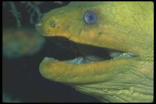 210094 Verde Moray eel Bonaire Antillas neerlandesas A4 Foto Impresión