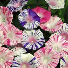 25 Morning Glory Seeds Carnival Ipomoea Seeds