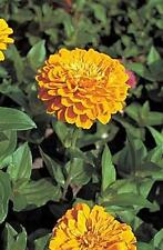 Zinnia Benary Giant Golden Yellow Annual Seeds