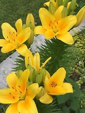 Exotic trumpet Lily 1-dormant bulb beautiful Yellow flowers rare