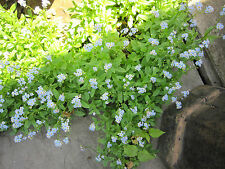 """Forget Me Not Perennial Plants Spread Blue to Pink Bloom Standing Water 12"""" Mat"""