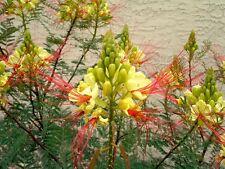 BIRD OF PARADISE BUSH (Caesalpinia gilliesii) 10 seeds