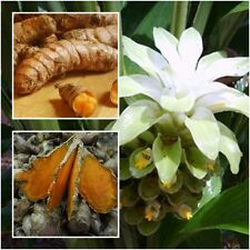 Turmeric, Curcuma Longa, Rhizomes Root For Cultivation, Heirloom Herbs 5 oz