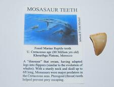 Mosasaur Dinosaur Tooth Fossil 3/4 to 1 inch Size Small #1069 2o