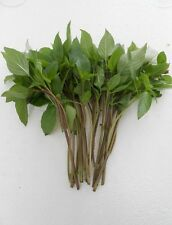 Vegetable Herb seeds : Bulk Thai Basil seeds ( Rau Que) ,.21000+seeds (1OZ)
