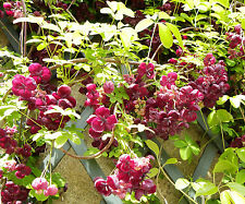 CHOCOLATE VINE * Akebia quinata * SHADE TOLERANT * FRAGRANT BLOOMS * SEEDS