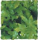 Zoo Med Congo Ivy Reptile Terrarium Plant