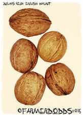 Juglans regia 'English Walnut' 3 SEEDS BONSAI TREE