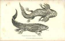1802 Fish Formed Siren Engraved Amphibia Plate - Shaw