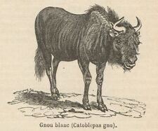 C8405 Catoblepas gnu - Stampa antica - 1892 Engraving