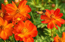 cosmos, BRIGHT LIGHTS, sulpher, orange/ yellow flowers, 90 seeds! GroCo