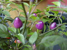 40++ Pretty in Purple Hot Peppers, Organic Seeds