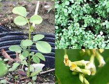 Rosenholzbaum außergewöhnliche originelle geniale Zimmerpflanze Deko für drinnen