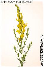 Genista tinctoria 'Dyer's Greenweed' [Ex. Hertfordshire] 100+ SEEDS