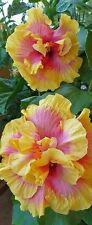 50 Beautiful Yellow-Pink Giant Hibiscus Flower Seed Garden&Home Perennial Flower