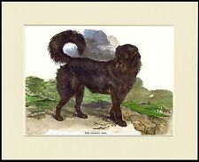 TIBETAN MASTIFF IMAGE OF AN EARLY DOG LOVELY DOG PRINT MOUNTED READY TO FRAME
