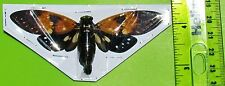 "Spotted Cicada Ambragaeana ambra Spread Near 4"" Wingspan FAST SHIP FROM USA"