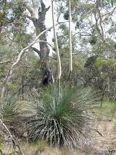 TUFTED GRASS TREE (Xanthorrhoea semiplana) 30 seeds