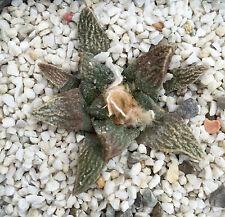 5 Ariocarpus scapharostrus X fissuratus RARE HYBRID seeds semi sementi cactus