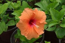 25-SEMI -HIBISCUS Canary Orange ""