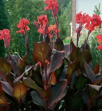 CANNA LILY BULB 'TROPICANA FLOWERS TALL DARK FOLIAGE