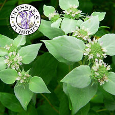 Rare Pycnanthemum muticum, Clustered Mountain Mint - 10 seeds - UK SELLER