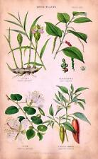 "Fitch's ""VEGETABLE KINGDOM"" - ""Spice Plants"" (GINGER, BLACK PEPPER, etc)  - 1855"