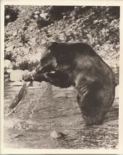 PF Toklat ( Grizzly Bear )