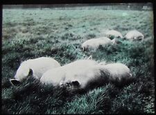 Glass Magic Lantern Slide PIGS IN A FIELD TITLED PORK ! C1910 PHOTO FARMING