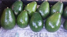 Semil 34, variety grafted avocado tree from Puerto Rico