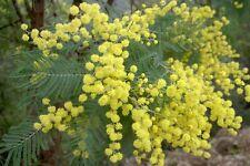 50 Semillas - Mimosa - ACACIA DEALBATA - Árbol - Semi - Samen