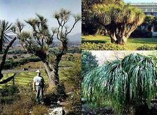 Winterharter Grasbaum / Wenn Sie einen besonders exklusiven Baum suchen ! Samen