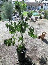 Grafted REED avocado fruit tree about 3.5 to 4 ft tall