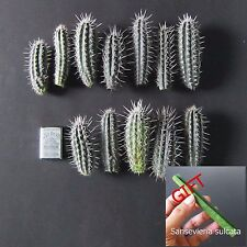 1 Cutting Pachycereus Pringlei True Blue Cactus Cacti Top Collection + FREE GIFT