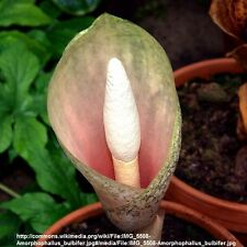 1 Amorphophallus Bulbifer VOODOO LILY Aroid